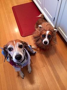 beagle corgi halloween