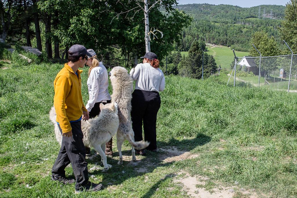 Arctic Wolf standing Saguenay Quebec