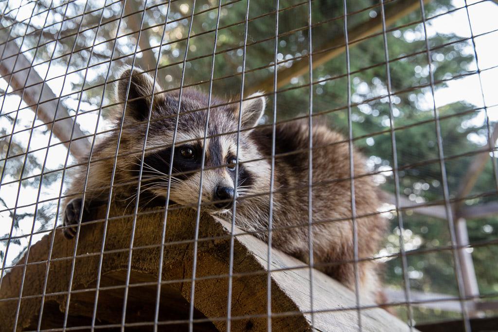 raccoon ferme 5 etoiles Saguenay Quebec Canada