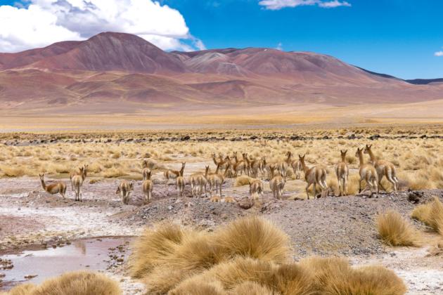 Tolar Grande adventure - Vicunas Argentina puna