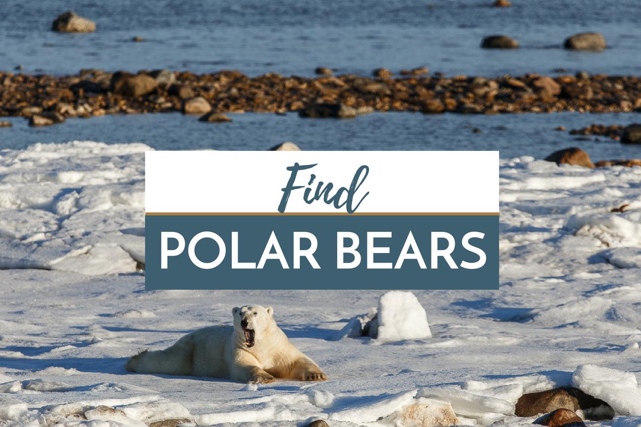 Find Polar Bears in Manitoba