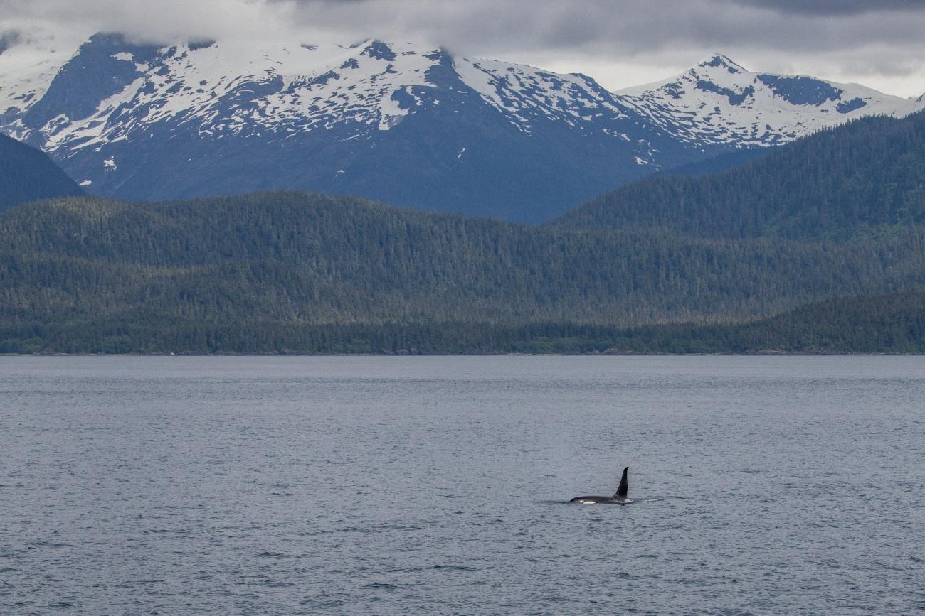 Orcas in Alaska